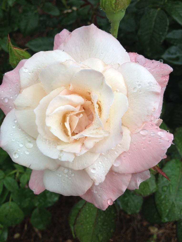 blog - rose