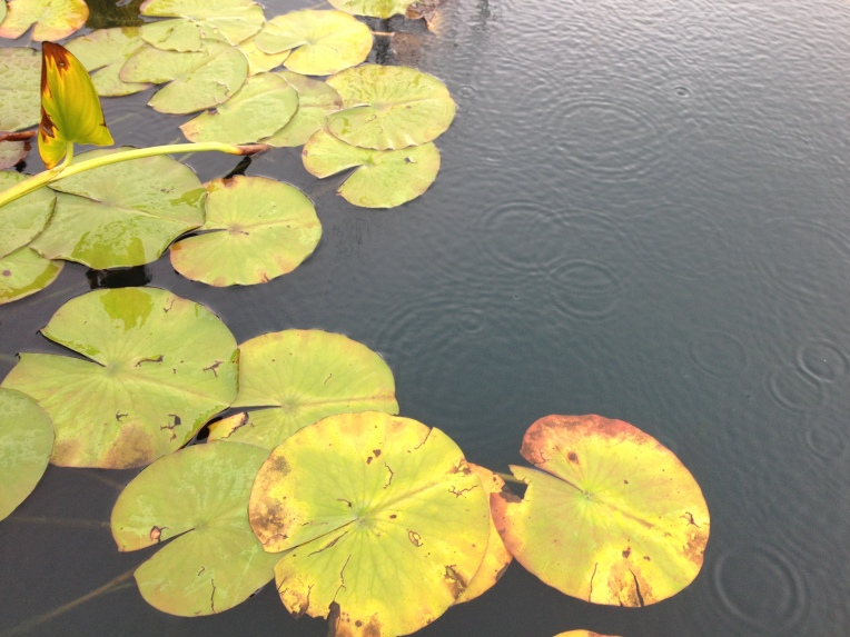 blog - water lilies